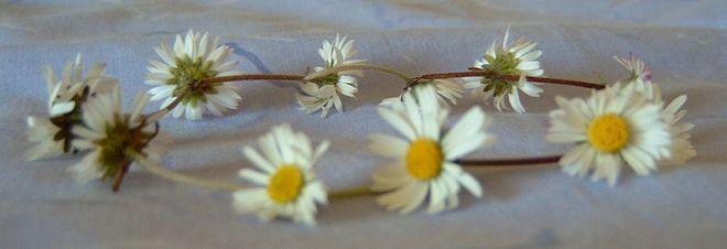 800px-daisy_chain