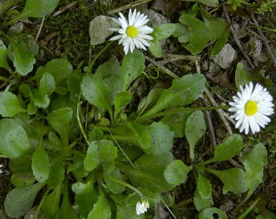 garden daisy note the low growing habit the leaves between the flowers and the basal leaves are spoon-shaped.
