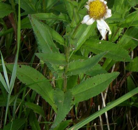 Alternating leaves close together Flowering much later than Oxeye Daisy, in July to September. The leaves differ from those of Oxeye Daisy in that they are lanceolate and acutely-toothed. The upper leaves are attached directly to the angular stem. Lower leaves slowly taper with a wing each side onto the stem.