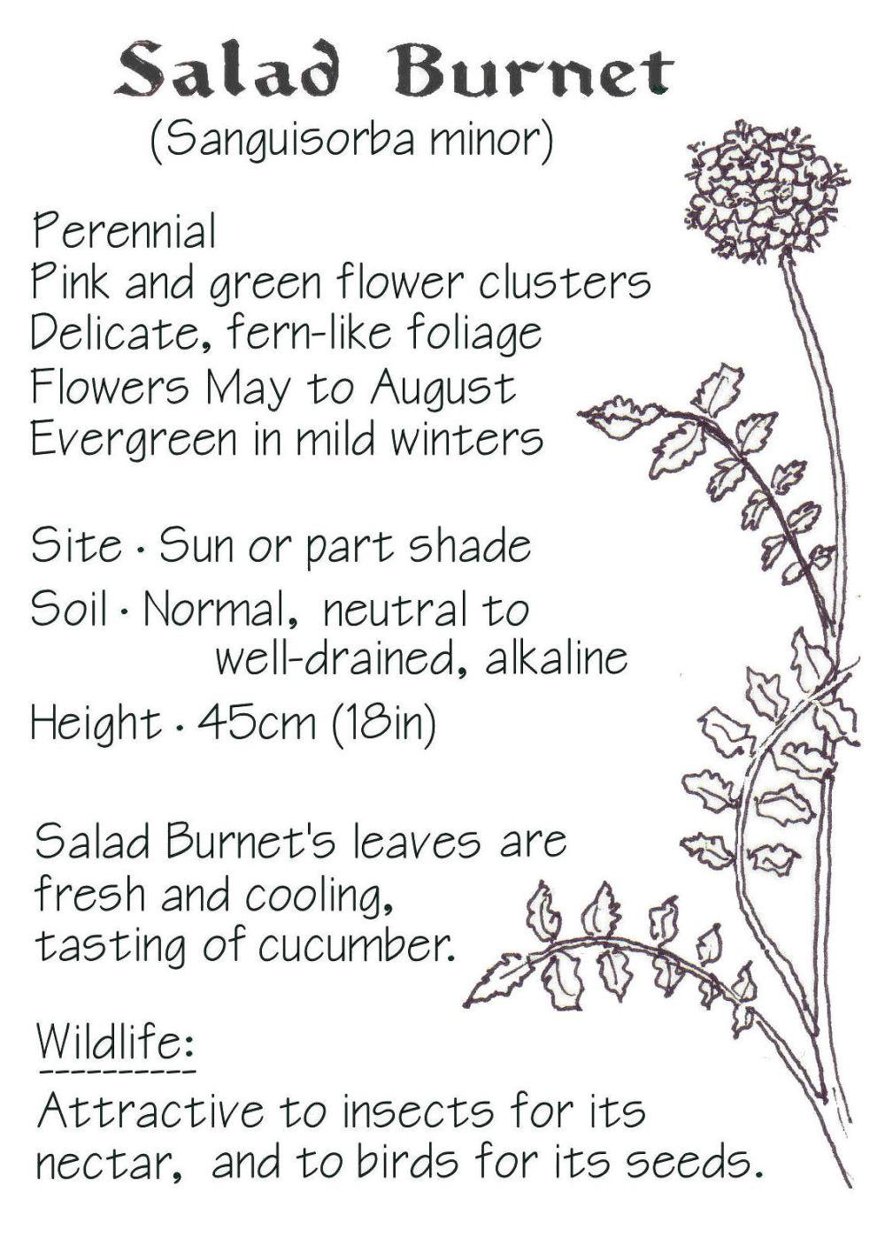Salad-Burnet-id