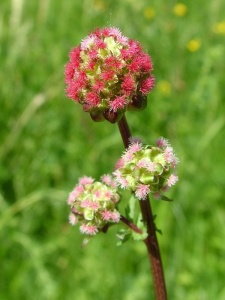 Salad-Burnet-Sanguisorba-minor-flower