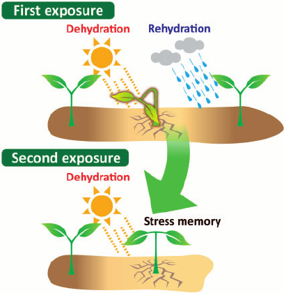 An-example-of-stress-memory-in-plants-Plants-have-elaborate-mechanisms-for-stress