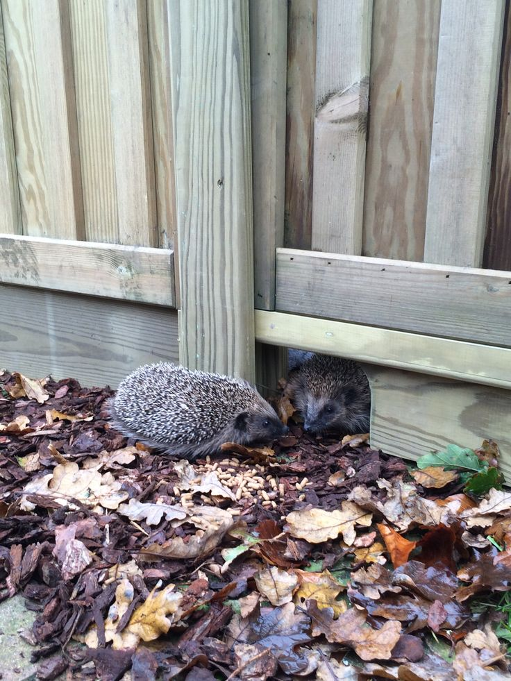 Jacksons Fencing Gravel Board in action _ #hedgehog #friendly #fencing #garden #wildlife