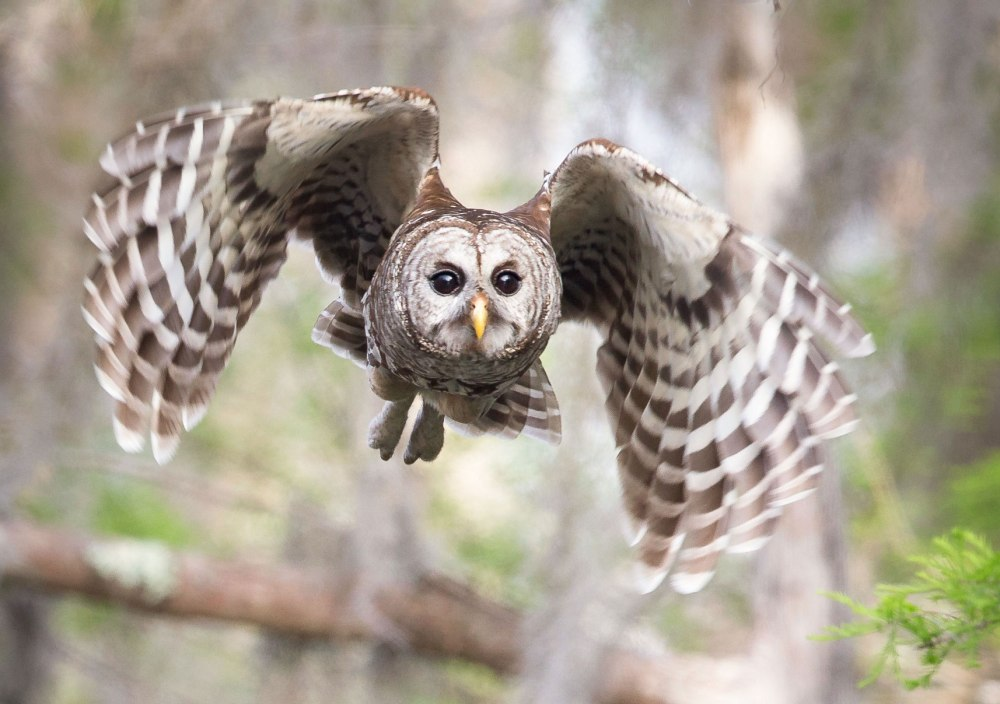 web_a1_1902_16_barred-owl_sandra_rothenberg_kk